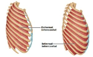 IntercostalMuscles 300x185 Salvador Perez:  Intercostal Strain